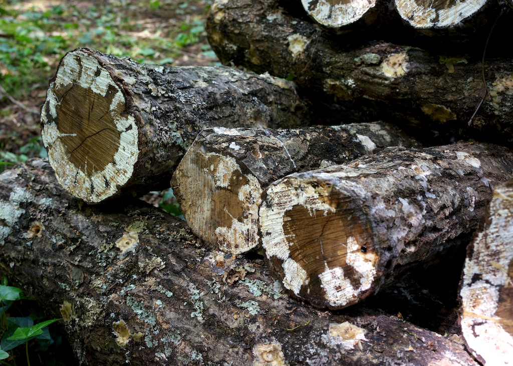 Shiitake Mushrooms, Under The Lime Tree, Cellefrouin, Charente